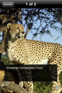 species-on-the-edge-iphone-app-review-cheetah-photo